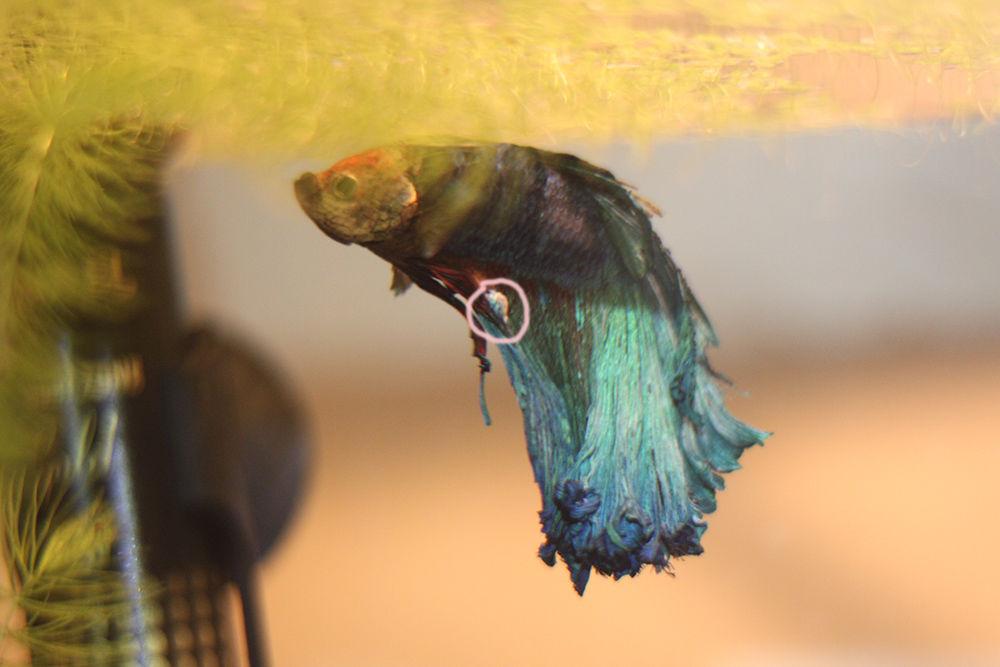 Помогите определить что с Петей рыбкой?