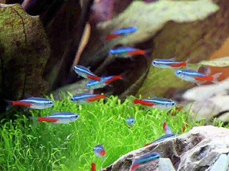 фото рыбки неоны