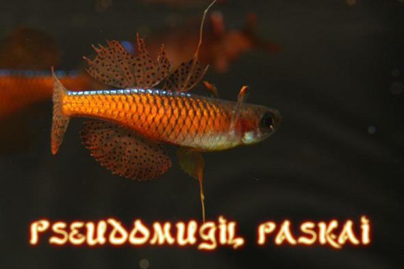 Псевдомугил паскай рыбка для нано аквариума
