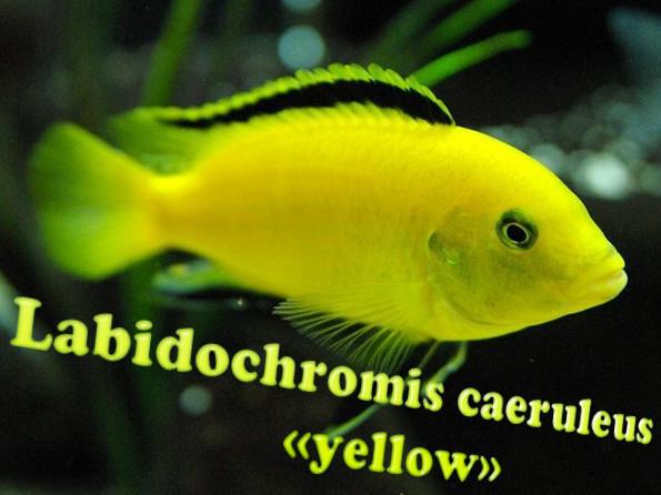 Лабидохромис еллоу - популярные и красивые малавийские рыбы