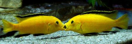 Лабидохромис Еллоу - желтая рыбка цихлида: содержание, совместимость,  фото-видео обзор