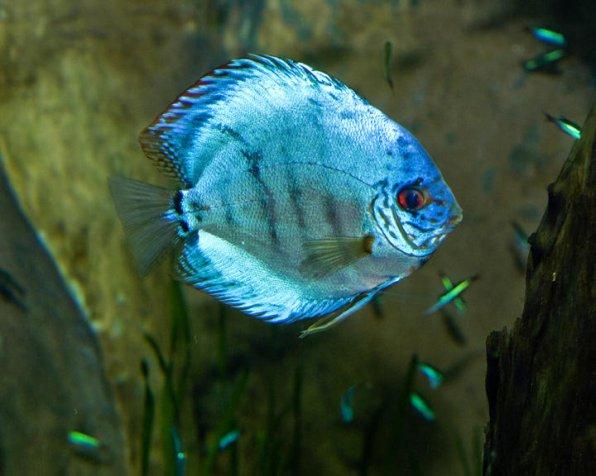 Дискус голубой: содержание, совместимость, описание