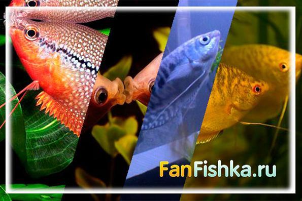 все о гурами аквариумных рыбках