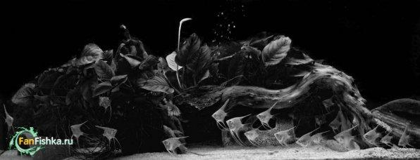 скалярии в аквариуме черно-белое фото красиво