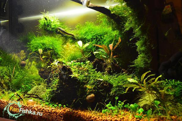 оформление аквариума мхами фото