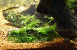 аквариумный мох как привязать к камню