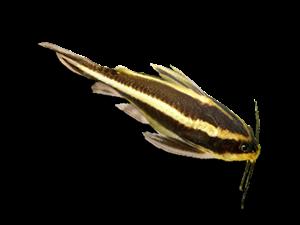 Фото сома платидораса