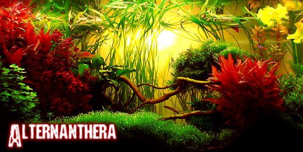 Альтернантера в аквариуме