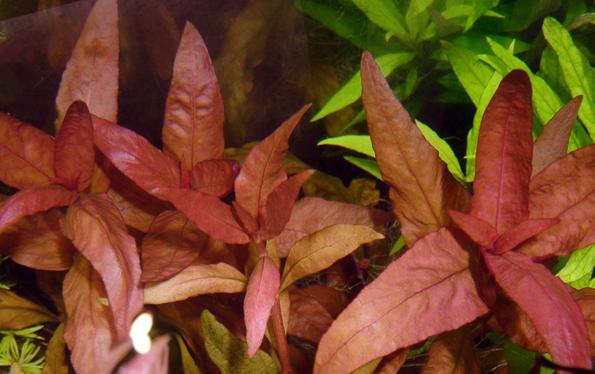 Альтернантера листья
