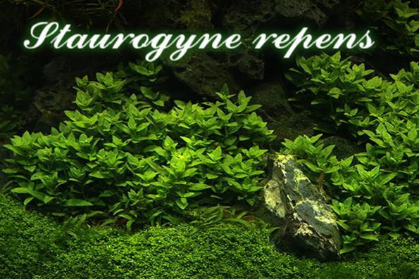 Почвопокровные, низкорослые аквариумные растения для переднего плана посадки