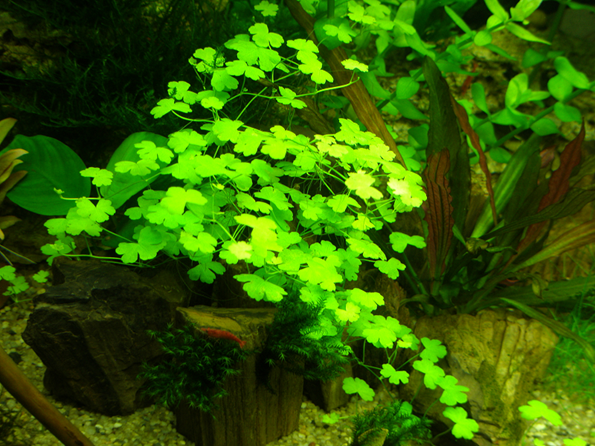 Hydrocotyle asiatica (Deriker); Сайт доктора гомеопата Соляра Алексея
