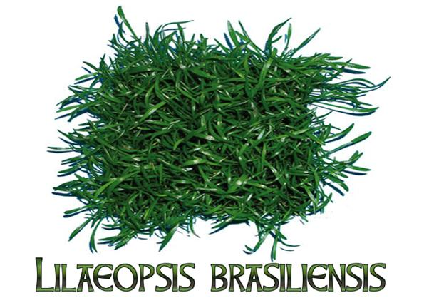 Лилеопсис бразильский