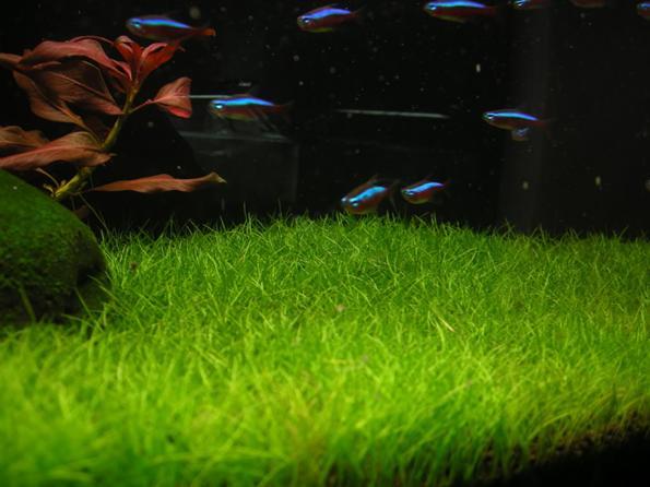Почвопокровные низкорослые аквариумные растения