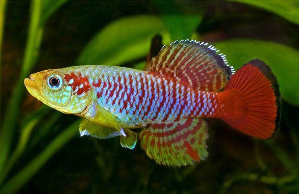 Нотобранхиус Гюнтера небольшая и интересная рыбка