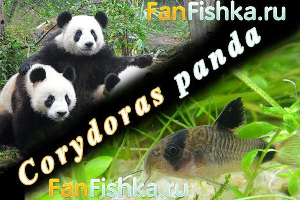 Коридорас панда