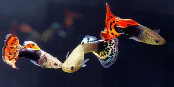 Гуппи - красивая аквариумная рыбка