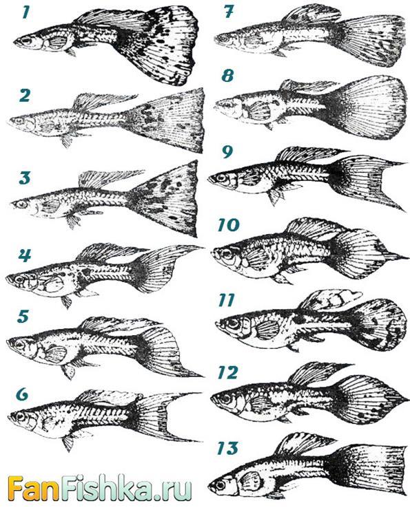 Классификация гуппи по плавникам