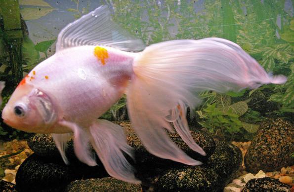 Вуалехвост рыбка