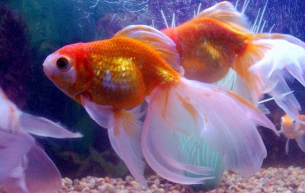 Вуалехвост золотая рыбка