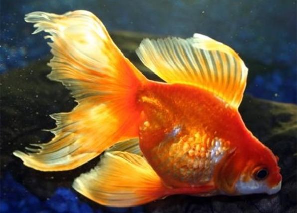 Вуалехвост аквариумная рыбка