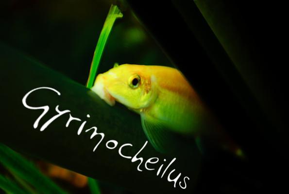Гиринохейлус