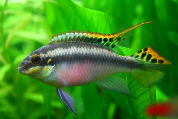 рыбка попугайчик