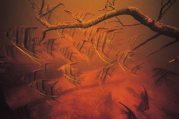 Чем кормить скалярий в аквариуме