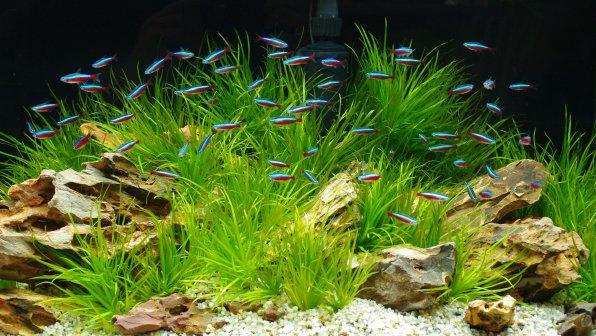 Неоны - красивые аквариумные рыбки