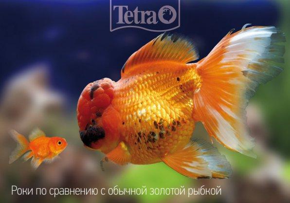Самая большая золотая рыбка оранда!