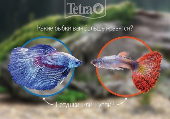 Кто вам больше нравится гуппи или петушки?