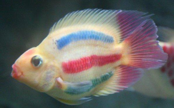 Рыба попугай