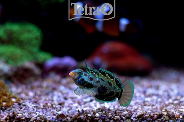 Рыбка Мандаринка красивое фото