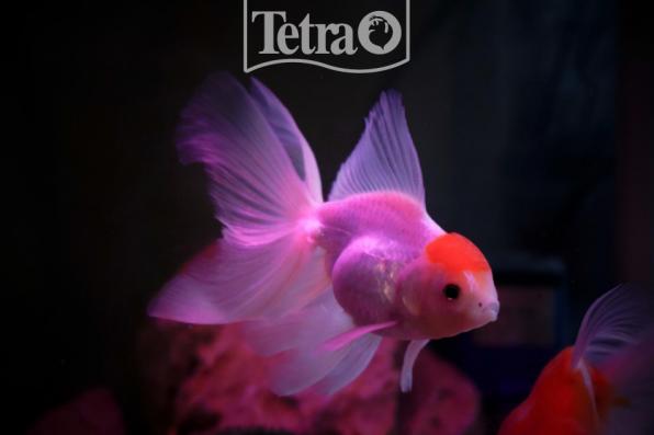 Какие золотые рыбки самые популярные?