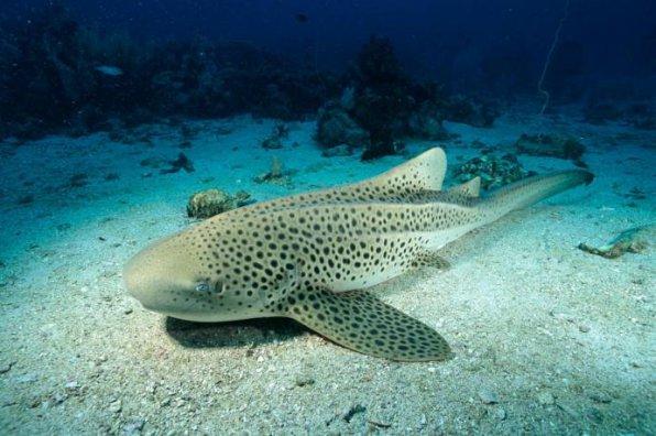 Зебровая акула родила трех детенышей, не имея никакого контакта с самцом.