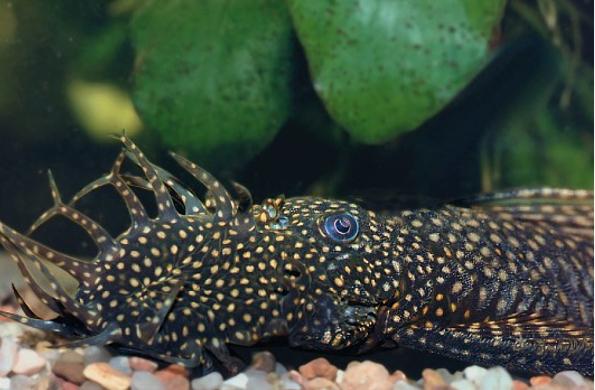 Ациструсы - популярные рыбки присоски