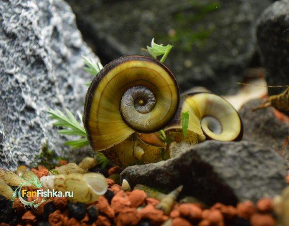 Мариза – аквариумная улитка: содержание, размножение, фото-видео обзор