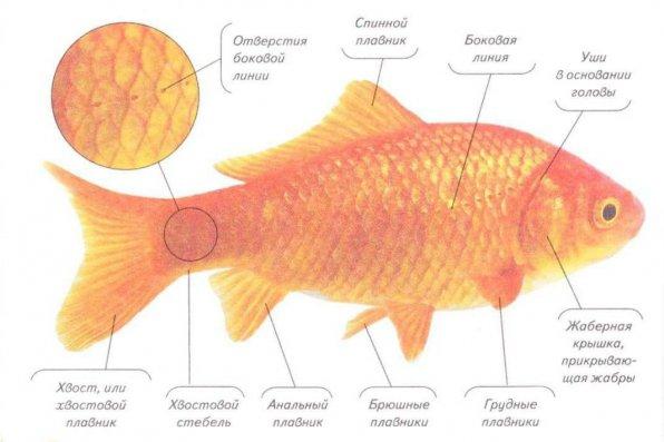 Как определить пол золотой рыбки