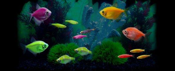 Флуоресцентные рыбки GloFish