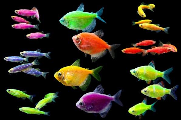 Флуоресцентные рыбки тернеции - красота на любителя