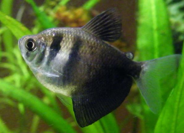 Популярные аквариумные рыбки
