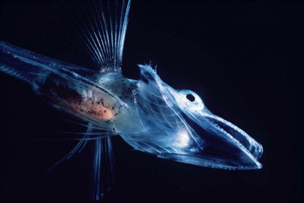 У «ледяной рыбы» его всего 1%!