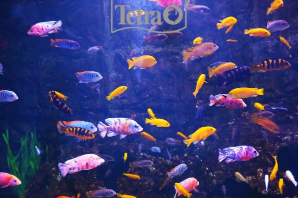 Фотография – это единственный способ остановить аквариумный фейерверк в цихлиднике!