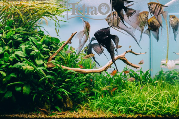 Ангелы аквариумного мира – скалярии!