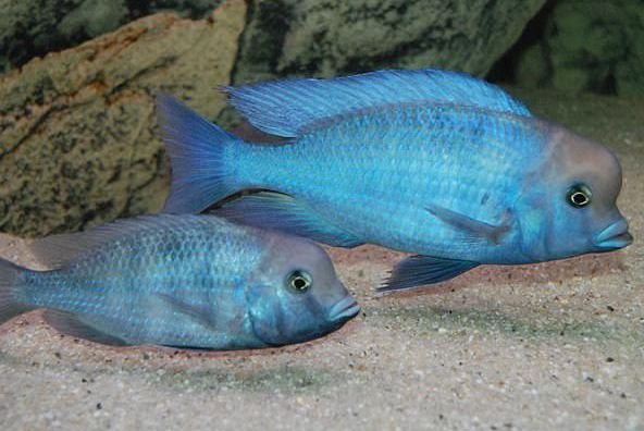 Циртокара мури - голубой дельфин самец и самка