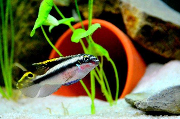 Пельвикахромис пульхер или  рыбка попугайчик