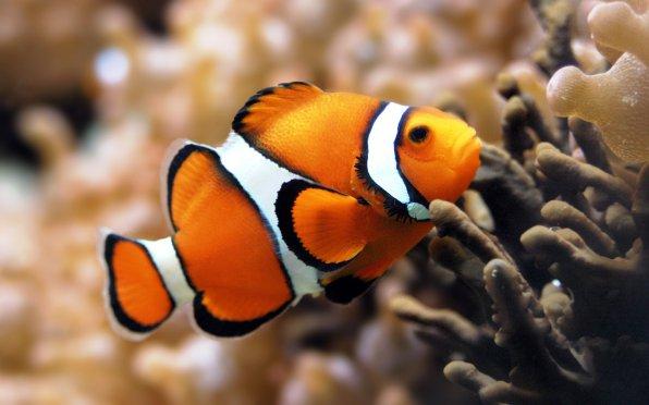 Амфиприон рыба клоун