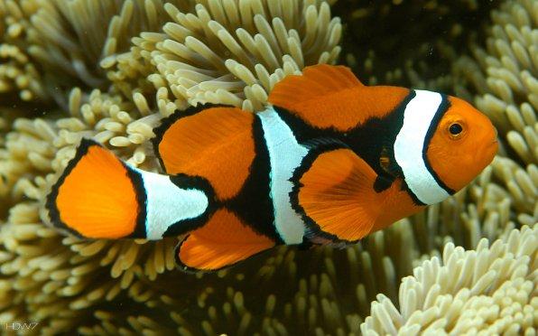 Амфиприон - рыбка клоун!