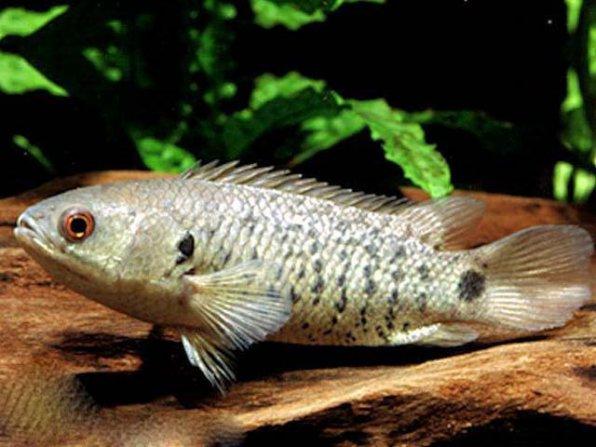 Анабас рыба ползун