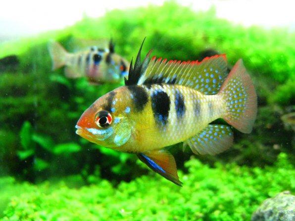 Апистограмма маленькие рыбки