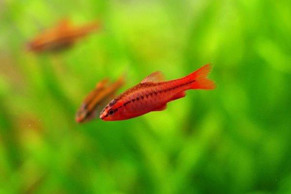 Барбус вишневый - - красивая аквариумная рыбка